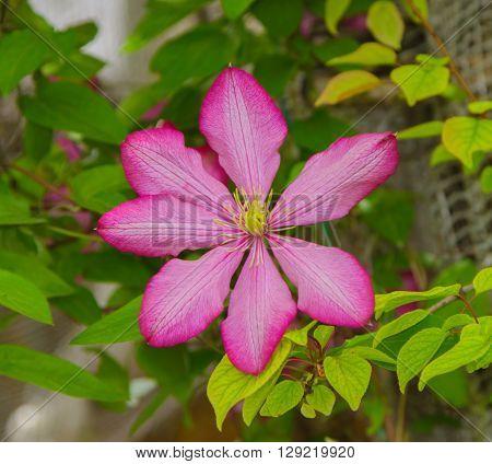 red flower clematis bloom in spring in the garden