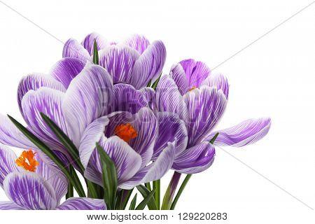 Beautiful crocus flowers isolated on white