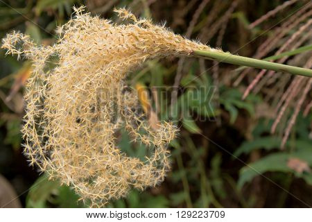 Closeup of ornamental grass, Chinese Silver grass flower, Miscanthus sinensis, growing in the garden in Australia