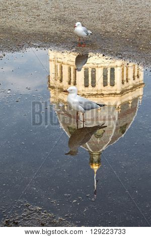 Soft focus of Silver Gull standing on wet ground with the reflection of Royal Exhibition Building in Melbourne, Australia. Focusing on the front one.