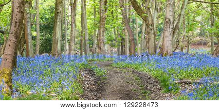 Empty Curvy Path Among Old Maple Trees and Bluebell Flowers Meadow Panoramic View