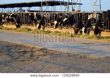 Cows feeding on hay at stalls taken at a dairy farm