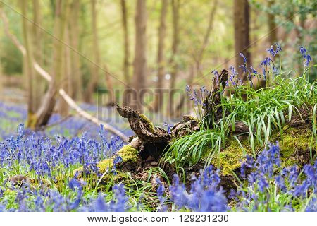 Wild Growing Bluebell Flowers on Twisted Tree Roots