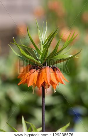 orange lily blooming in the spring close up (Fritillaria imperialis)