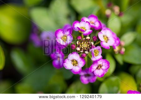 Close up of pretty pink, white and purple Alyssum flowers, of the Cruciferae annual flowering plant
