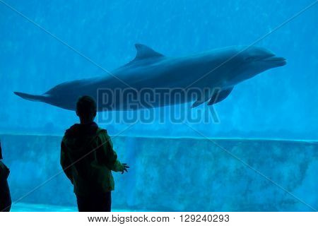 GENOA, ITALY - MARCH 22, 2016: Young visitor observes as the common bottlenose dolphin (Tursiops truncatus) swims in the Genoa Aquarium in Genoa, Liguria, Italy.