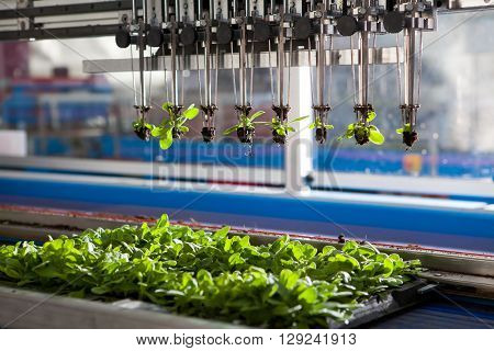 Mechanical planting seedlings. Machine with grippers planting seedlings. Serial planting.