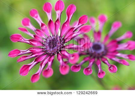 Purple Osteospermum daisy flowers, also known as Spider Daisies.