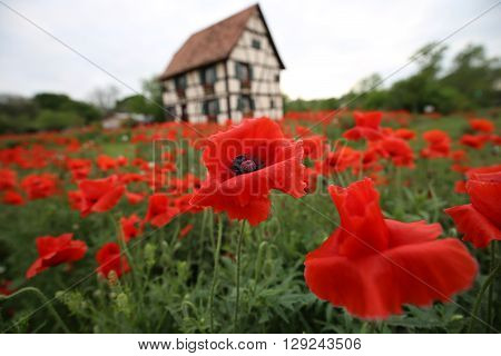 Alsatian Red Poppies with German style building in blurred background