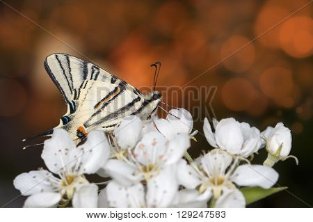 closeup beautiful giant Swallowtail butterfly (Papilionidae) on flowers at sunset