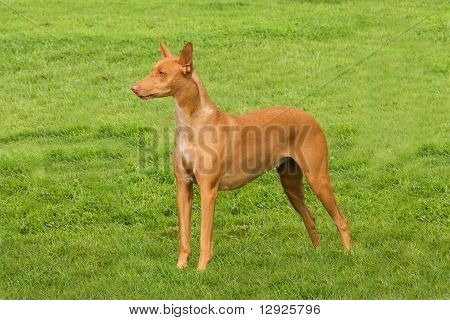 Pharaoh Hound Standing To Attention