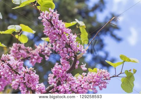view landscape background blurred bright pink Judas Tree branch against the blue sky
