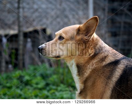 Guard dog, portrait. Dog redhead, beautiful, purebred. Summer, nature, dog guards country cottage area