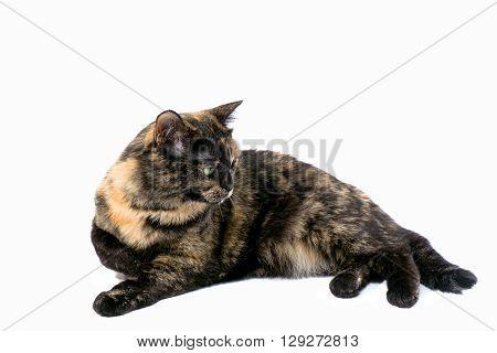 Tortoiseshell cat isolated on a white background