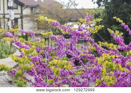 View landscape background blurred bright pink Judas Tree in the garden on a background of houses