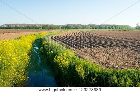 Curved ridges of clay after seeding potatoes in the farmland. Along the ditch the rapeseed is yellow flowering. It is a sunny day in the early spring season.