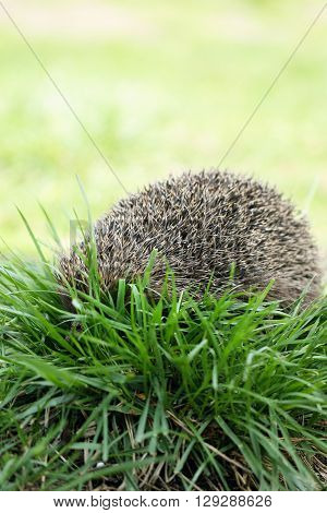 Young prickly hedgehog in their natural habitat, on the grass poster