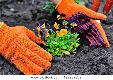 Gardeners Hands Planting Flowers In A Garden