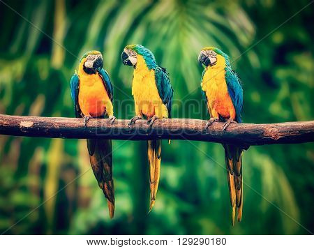 Vintage retro effect filtered hipster style image of Blue-and-Yellow Macaw (Ara ararauna), also known as the Blue-and-Gold Macaw