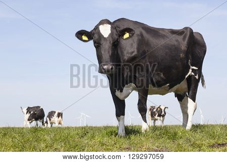 black and white cow stares in green grassy dutch spring meadow under blue sky in holland with other cows in the background