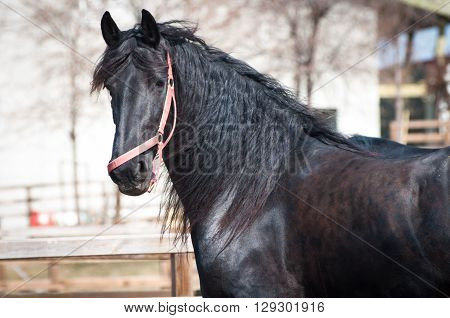 Running black friesian horse as horse training