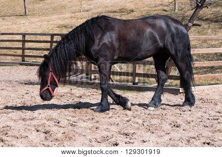 Running black friesian horse as horse training
