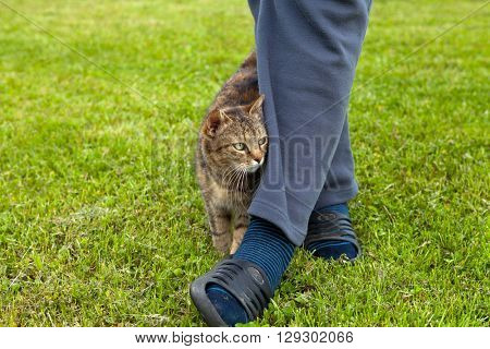 Gray cat rubbing against female leg