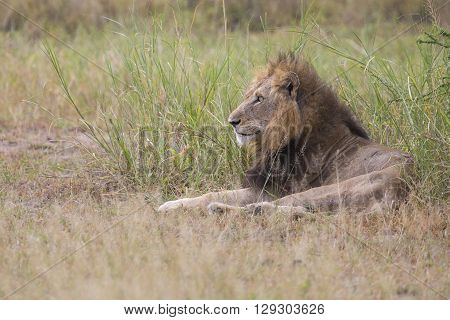 Injured old lion male lying to rest in the grass and lick his wounds poster