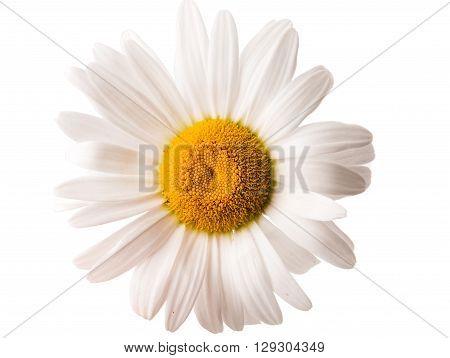 chamomile flower isolated on white, daisy, element,