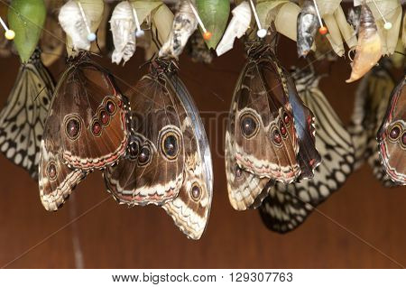 pupa with butterflies hanging up side down in cascet