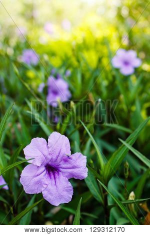 Purple Flowers Or Ruellia Tuberosa Linn, Waterkanon, Popping Pod, Toi Ting (thai Name).