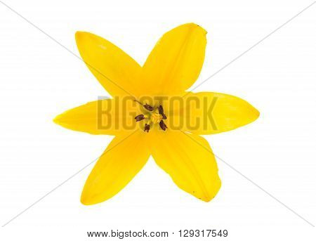 yellow lily isolated on white backgroundt, color, growth, plant,