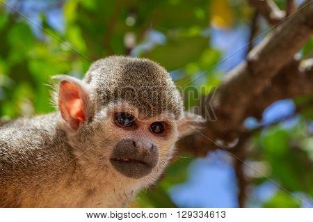 Closeup Portrait Of Squirrel Monkey