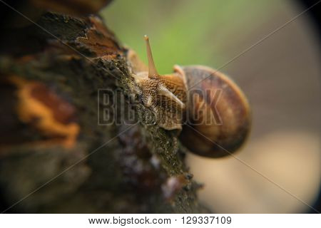 snail, gastropod mollusk,residents of flora,small animals in the forest,slug,helix pomatia.
