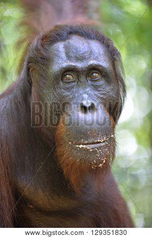 Orangutan Portrait. A Close Up Portrait Of The Orangutan. Close Up At A Short Distance. Bornean Oran