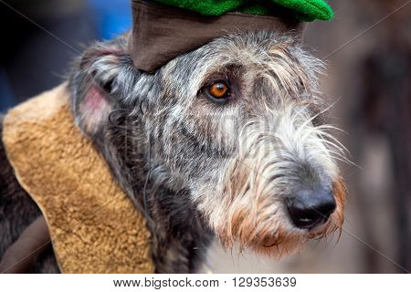 Irish Wolfhound is a giant-sized dog, one of the tallest breeds in the world
