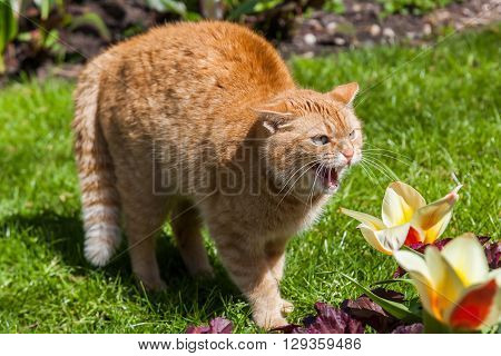 hissing red colored cat in a garden