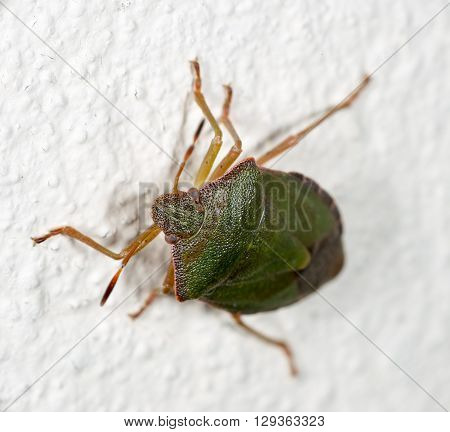 green a bedbug crawling on the white wall of the house