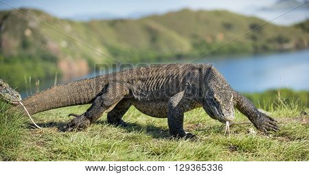 Komodo Dragon Swith The Flicked Out Tongue. The Komodo Dragon ( Varanus Komodoensis ) Is The Biggest