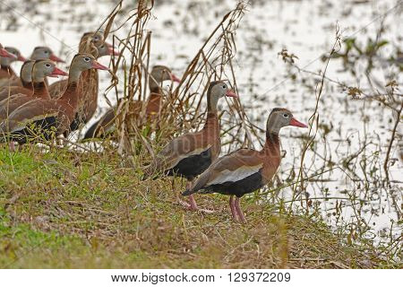 Black-bellied Whistling Ducks on a Wetland Shore in Brazos Bend State Park in Texas