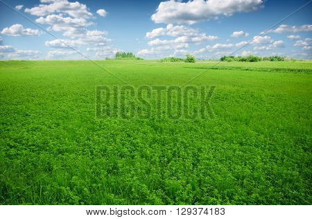 Picture of green clover field