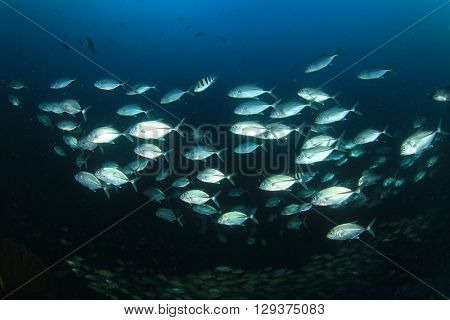 School Bigeye Trevally fish