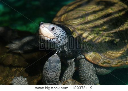 A diamondback terrapin tortoise with nature background
