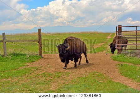 American Bison Buffalo at an Open Fence Gate