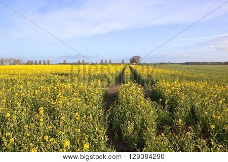 bright yellow fields of oilseed rape crops with tyre tracks and poplar trees in the distance under a blue cloudy sky in springtime