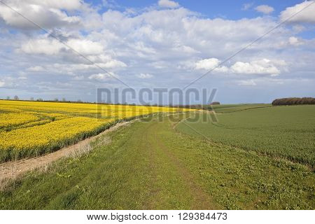 a country footpath in the yorkshire wolds england with wheat and oilseed rape crops under a blue cloudy sky in springtime