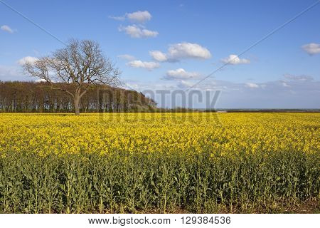 yorkshire wolds oilseed rape crop in flower with a woodland copse and ash tree overlooking the vale of york with wind turbines under a blue sky