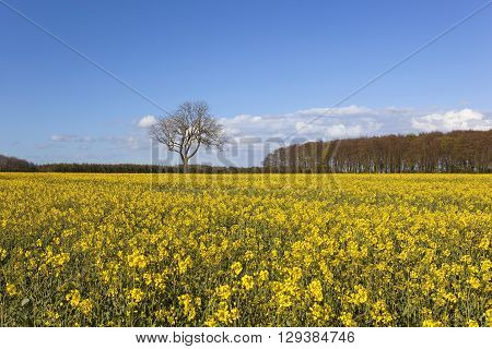 a bright yellow flowering oilseed rape crop with surrounding woodlands under a blue sky in springtime