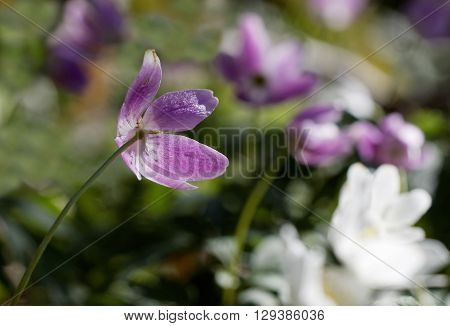 Closeup of wood anemone with a violett tint. Latin name: Anemone nemorosa