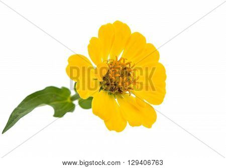 Yellow zinnia isolated on white background violacea,